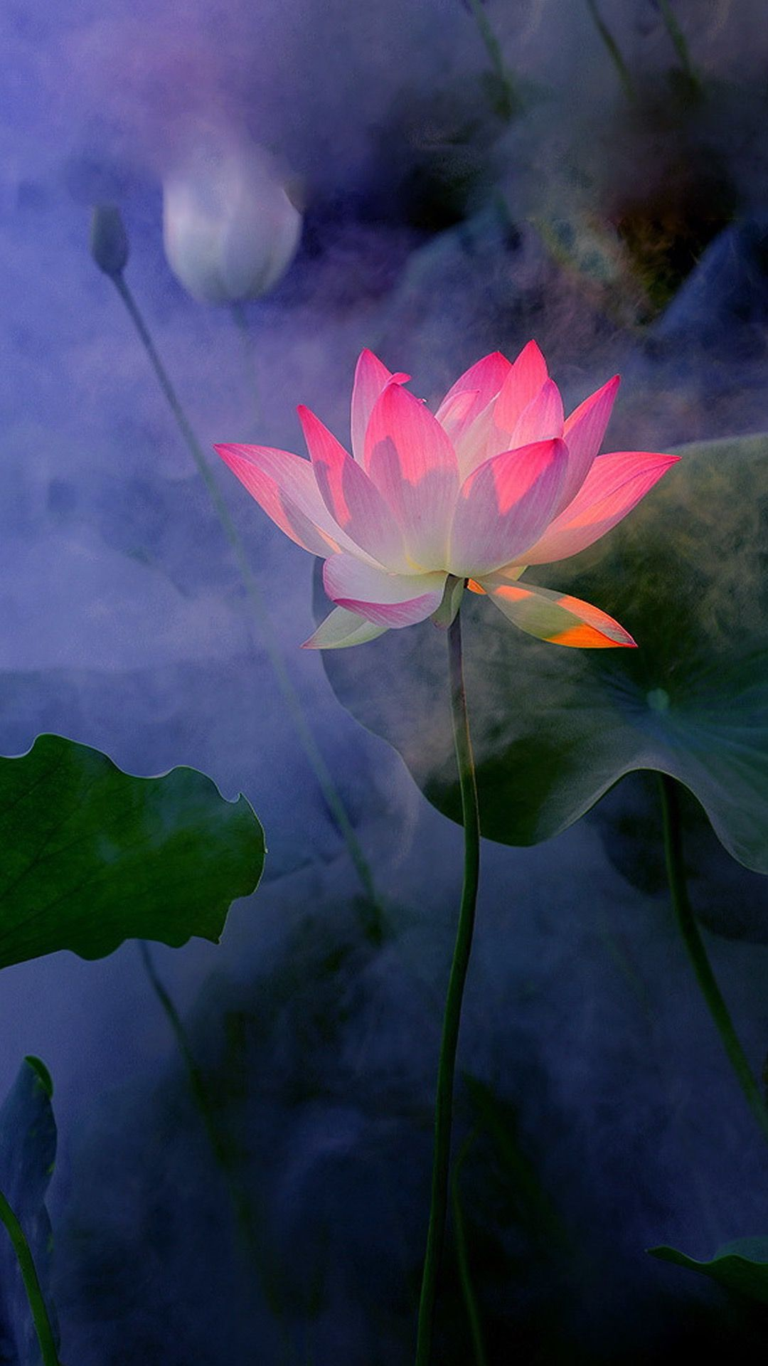 Pin by DrUmesh Pandey on iPhone wallpaper Flowers, Lotus