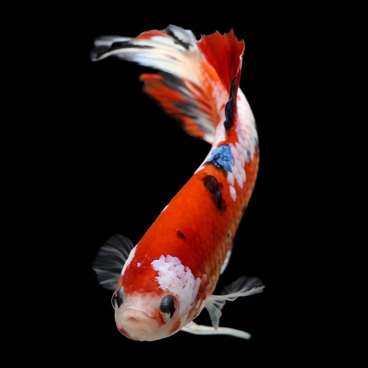 Male koi betta | Small aquarium | Pinterest | Betta, Koi and Betta fish
