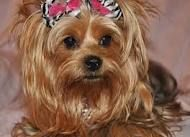 Yorkies can't go without bows
