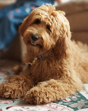 Family Photo Album Australian Labradoodles In Red Apricot