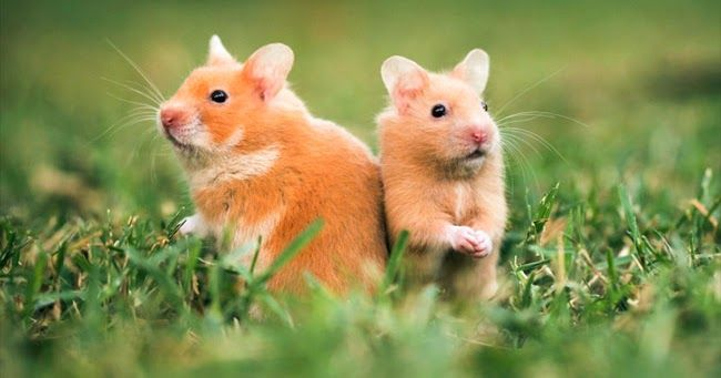 Syrian Hamsters Breed Introduction Hamster Breeds Hamsters As Pets Syrian Hamster