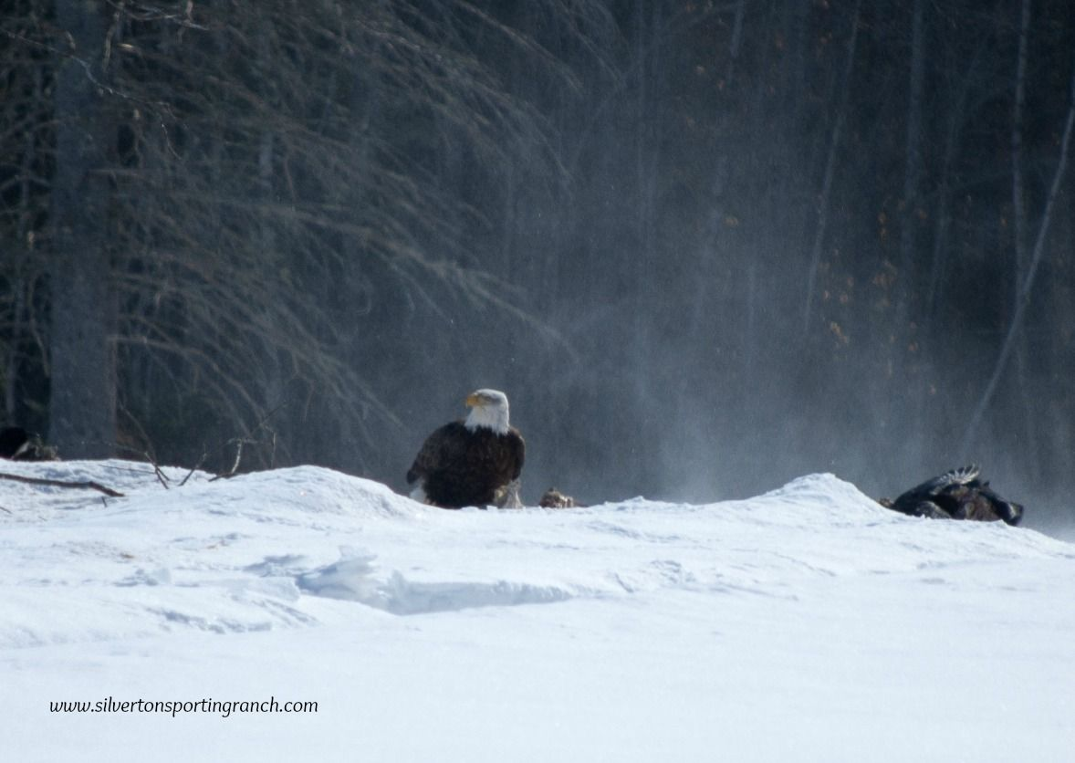 Eagles in Maine. #silvertonsportingranch #kennebecvalley #baldeagle #mainewildlife