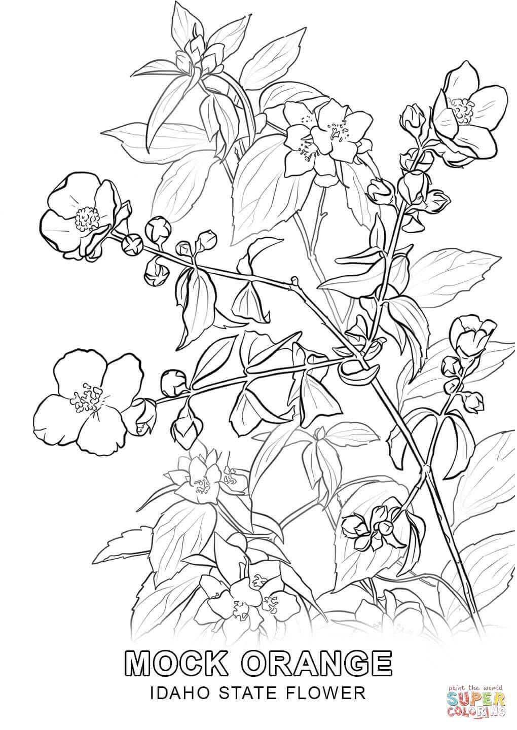 Idaho State Flower Coloring Page Jpg 1020 1440 Cherry Blossom