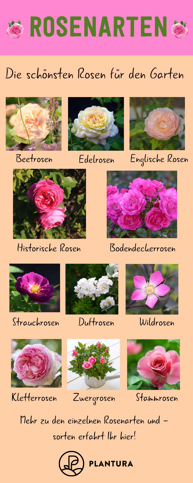 Rosenarten: Die 12 schönsten Rosenklassen im Überblick - Plantura #kleinekräutergärten