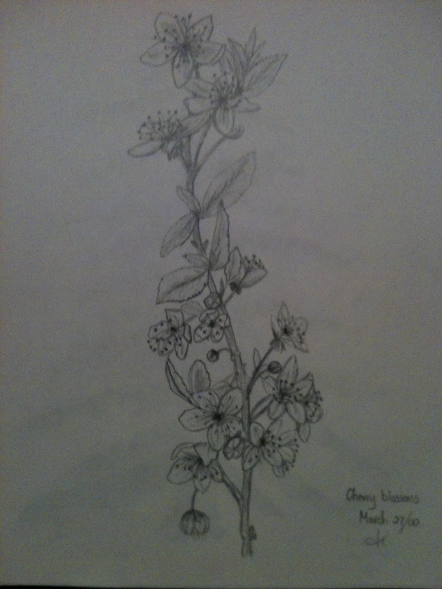 Cherry blossom sketch in pencil By Jeanne Tyrrell