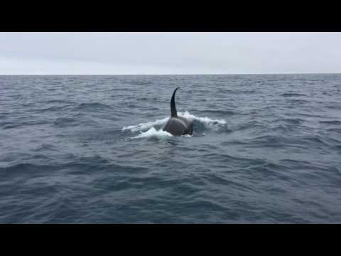 Rare Sight Killer Whales Put On Show Off Local Waters Orange - Rare moment 40 ton whale jumps completely out of the water