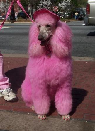 Posh Poodles Primped Preened Pink Poodle Pink Poodle Pink