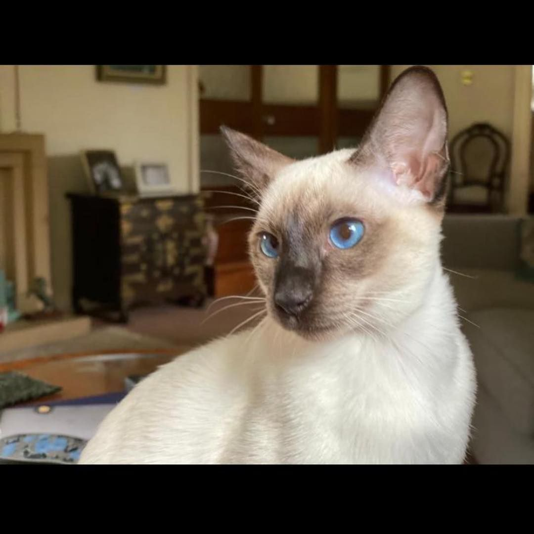 This Is Coco She Is A Beautiful Siamese Kitten Who Hopes Others Can Enjoy Her Beauty Siamesecat Kittens Cat Kittensofinstagram Siames Siamese Kittens Cute Cats Cute Animals