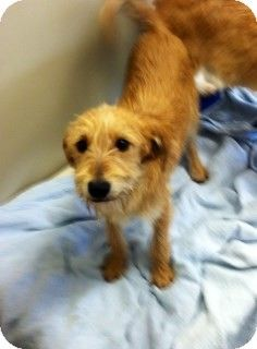 Joplin Mo Yorkie Yorkshire Terrier Labrador Retriever Mix