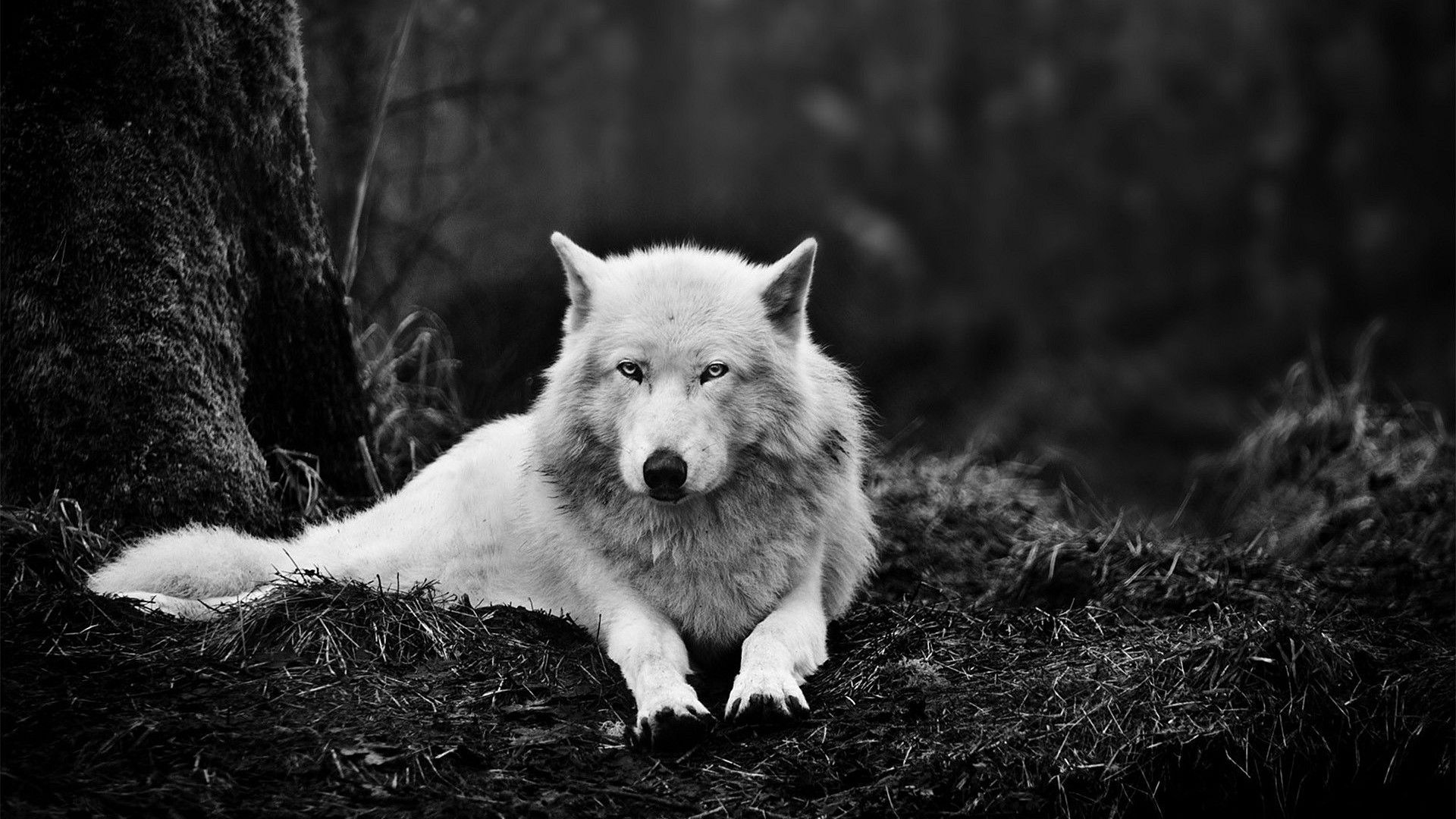 Live Wallpaper Hd In 2020 Wolf Wallpaper Wolf Black And White Black Wolf