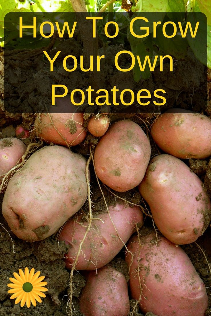 Secrets To Growing Loads Of Your Own Potatoes | Vegetable garden ...