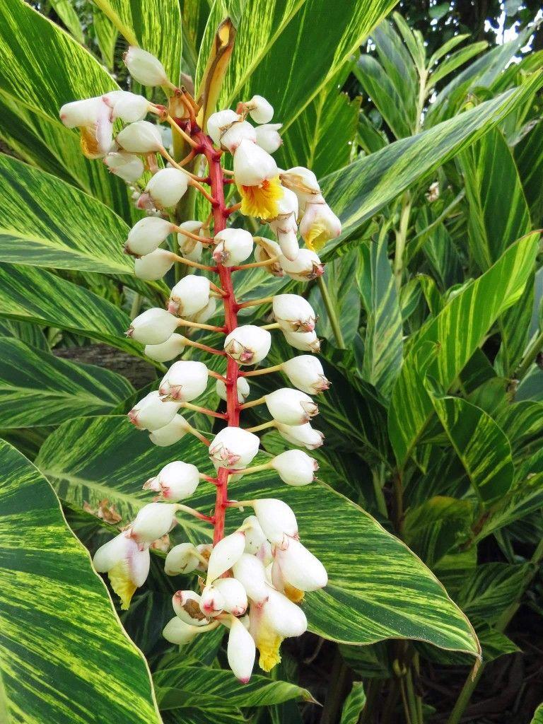 Variegated Ginger Honolulu Front Yard Landscaping Tropical Garden Flowers