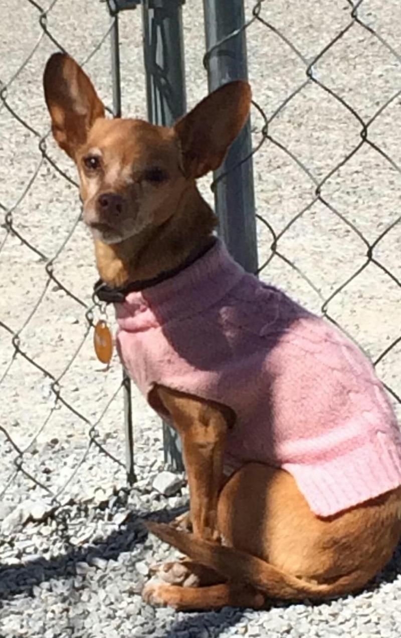 Adopt Sally on Chihuahua dogs, Chihuahua, Dogs