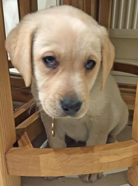 Minnie The Labrador Retriever Dale Holman Maine Cute Puppy Names Puppies Labrador Retriever
