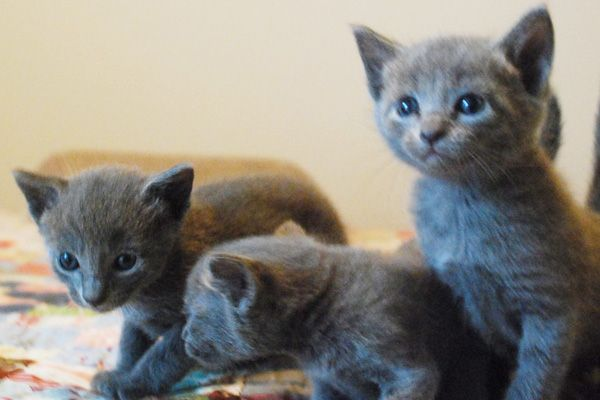 Russian Blue Kittens For Sale In Manhattan Manhattan Puppies Russian Blue Kitten Russian Blue Kittens