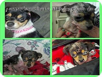 Conroe Tx Chihuahua Meet Demi A Dog For Adoption One Day