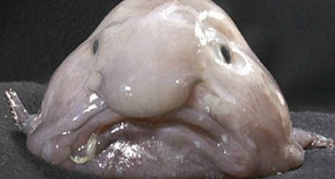 """In Defense of the Blobfish: Why the """"World's Ugliest Animal"""" Isn't as Ugly as You Think It Is"""