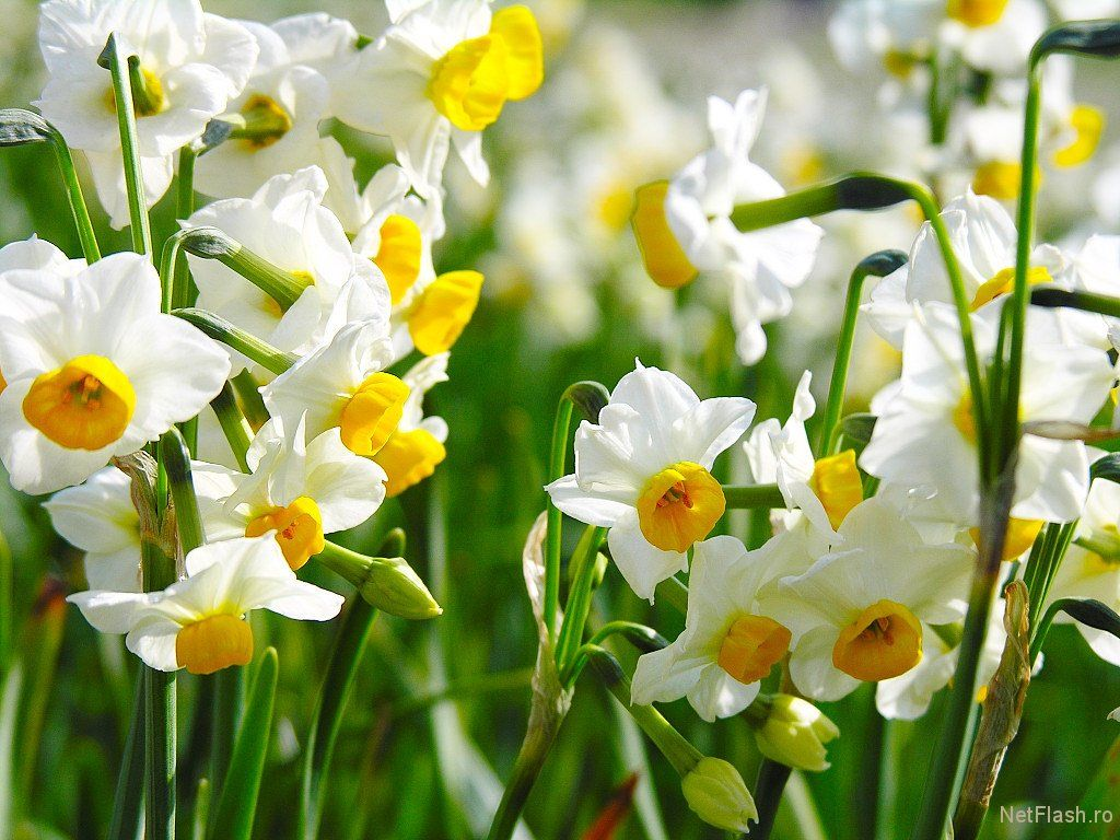 jonquil - Google Search