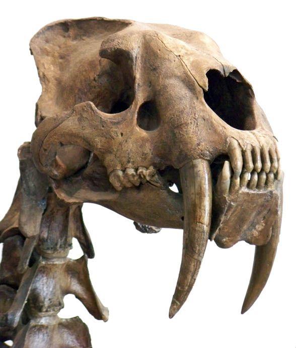 Crâne de Smilodon | Anatomical theater. Skeletons and skulls ...