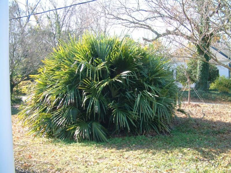 Needle Palm Tree Grows In Pennsylvania Davidstnpalms Cold Hardy
