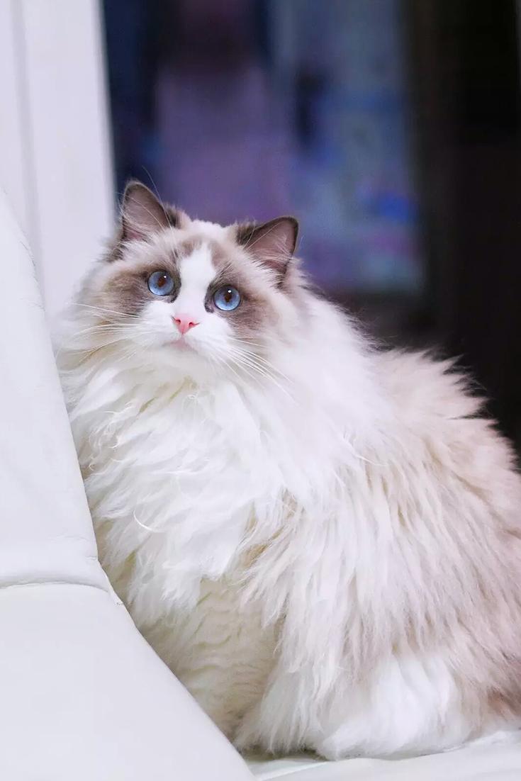 Where To Find Ragdoll Kittens For Sale Ragdollkittens Where To Find Ragdoll Kittens For Sale If You Ragdoll Kittens For Sale Ragdoll Kitten Kitten For Sale