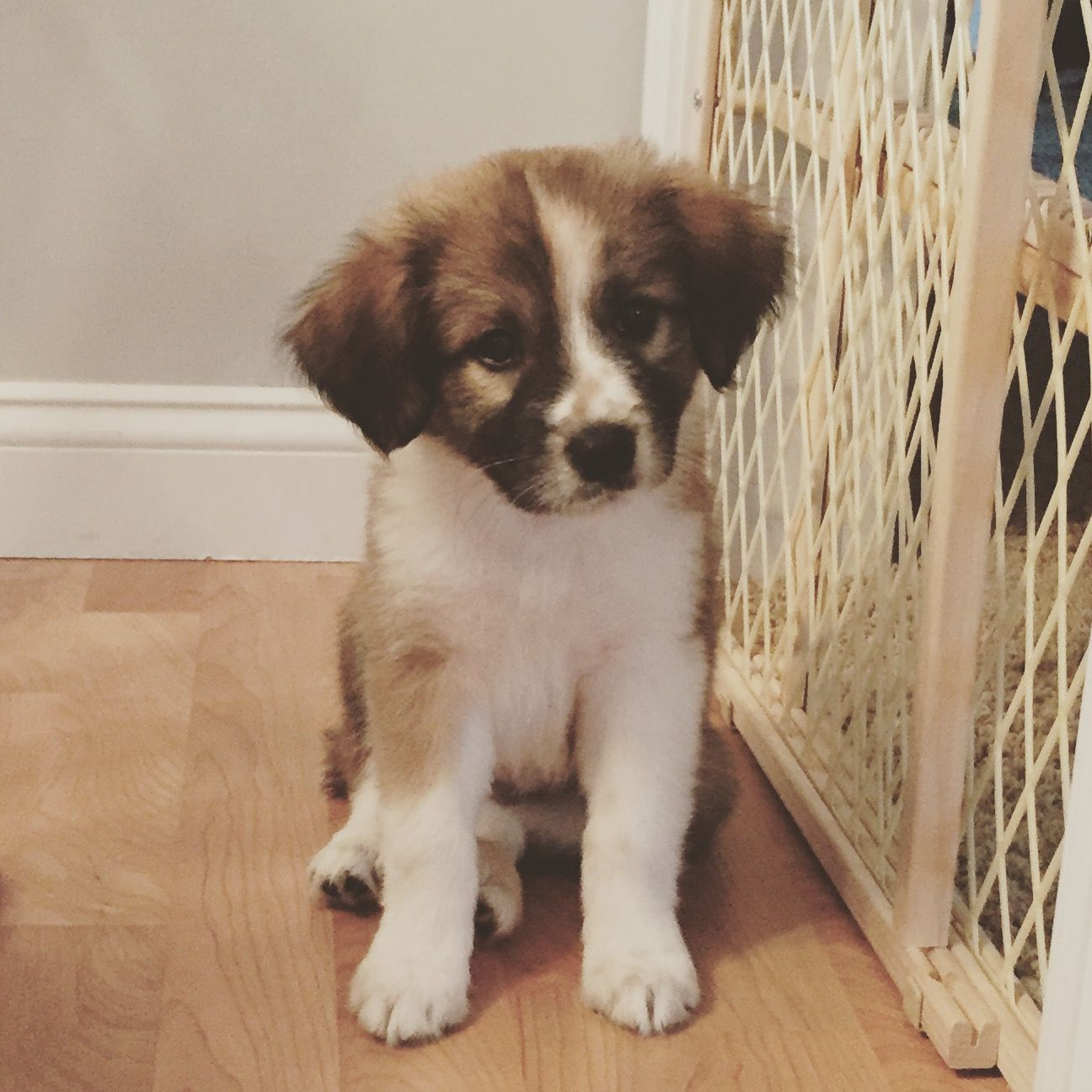My Chewie Great Pyrenees Terrier Miniature Poodle Mix Puppy