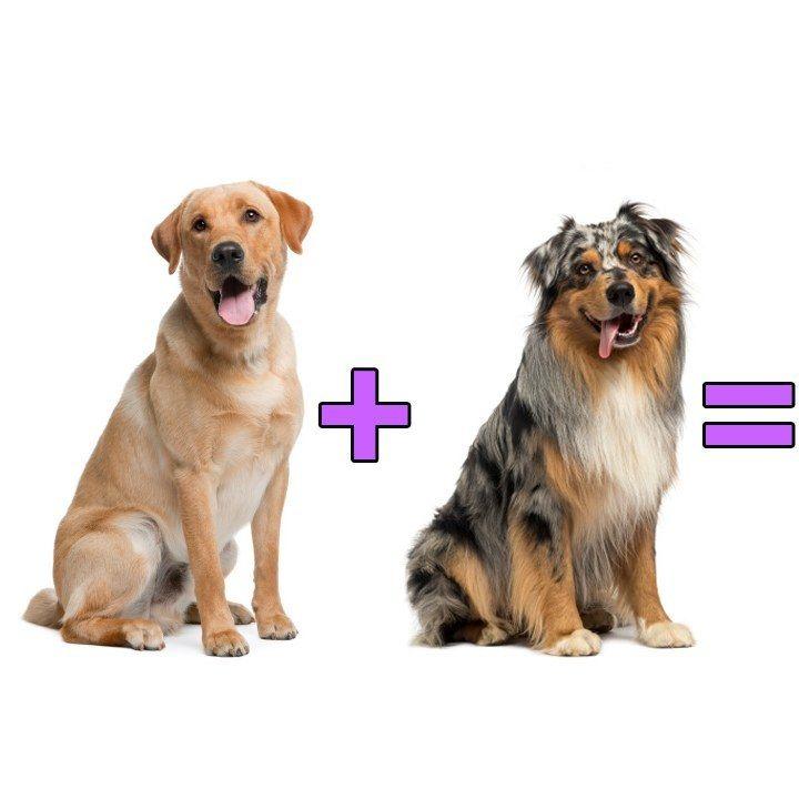 Labrador Retriever + Australian Shepherd = Labstralian