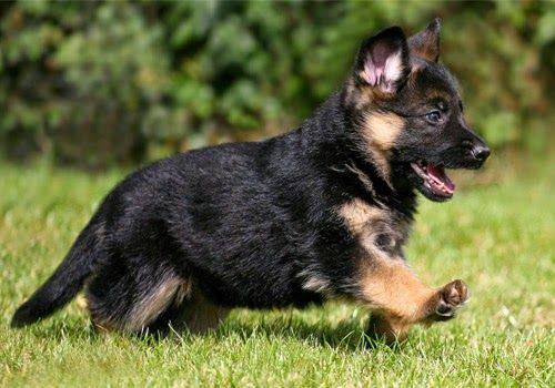 Cara Memelihara Anjing Herder Kecil German Shepherd Ras Anjing Anjing Pelatihan Anjing