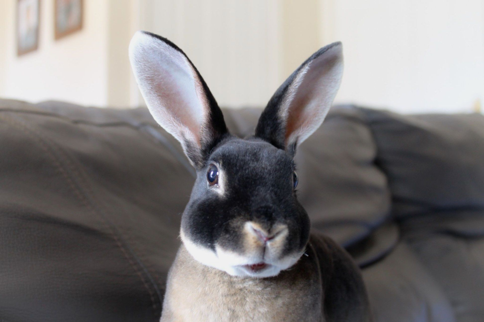 Pin by Melody Tincer on iss a bunny! Pet bunny, Black
