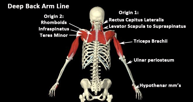 Myofascial Meridains (Anatomy Trains): Deep Back Arm Line | Fitness ...