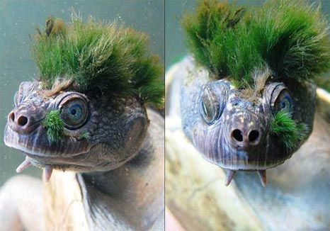 mary river turtle (australia) with very striking algae growth!!