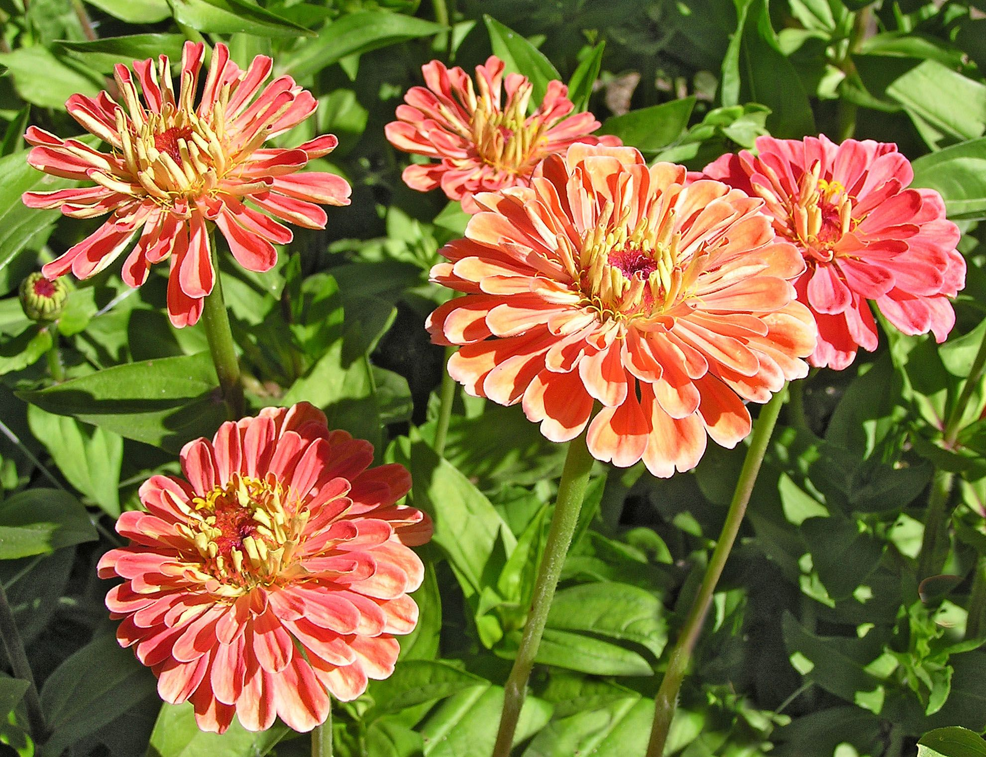 exclusive to renee s garden these apricot blush zinnias are