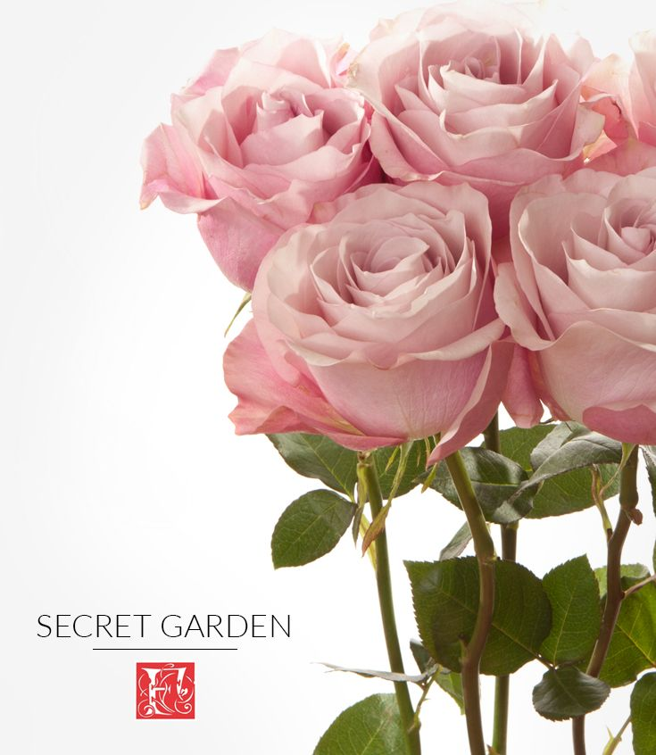 Meet secret garden one of our blush colored rose varieties that has large bloom that opens big - Rose cultivars garden ...