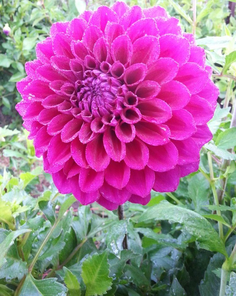 Purple Joy Dahlia Purple Dahlia Rhizome