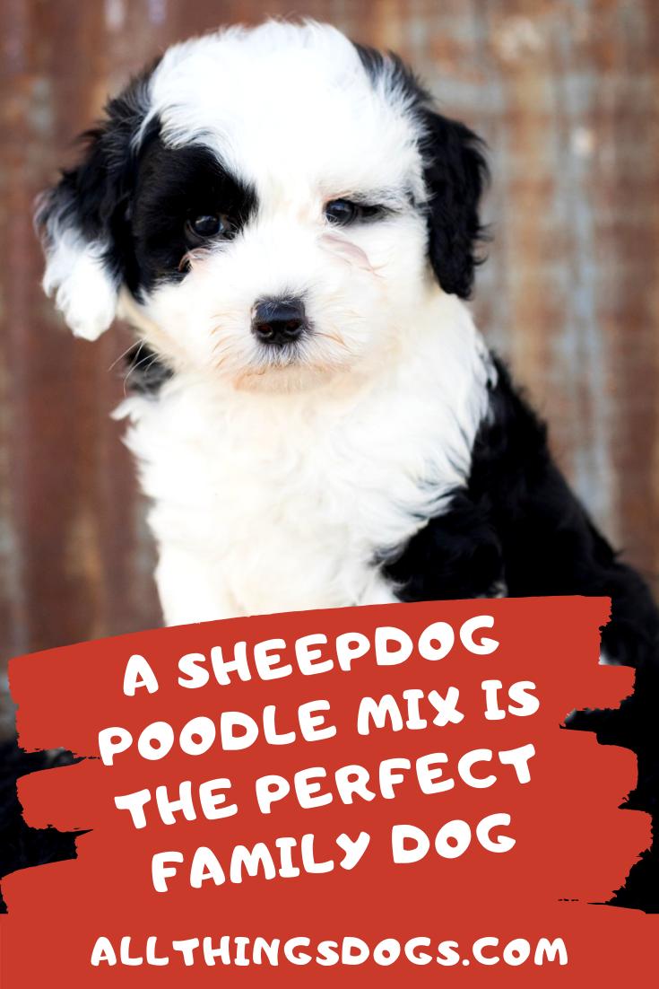 The Sheepdog Poodle Mix Dog breeds, Poodle mix, Poodle
