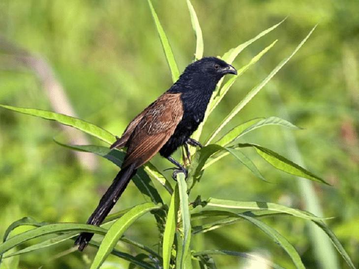 Populasi Burung Bubut Jawa Yang Sudah Mulai Terancam Kepunahannya Burung Jalak