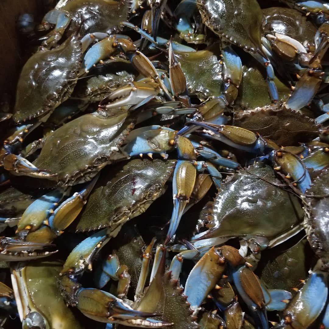 recipe: order live blue crabs online [19]