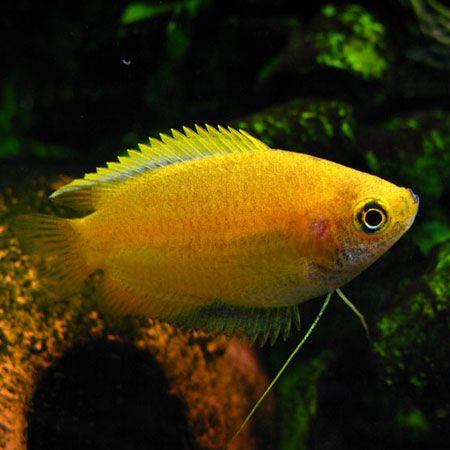 Yellow Honey Gourami Aquarium Fish Tropical Fish Freshwater Fish