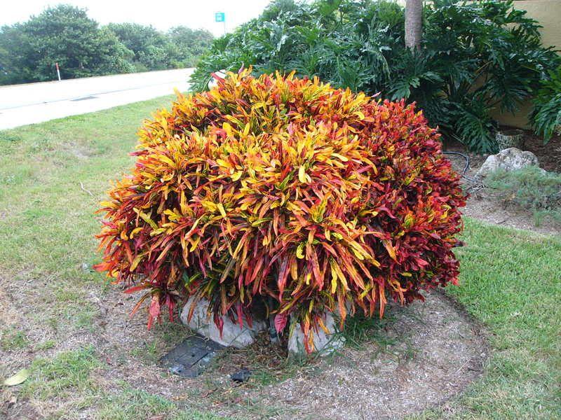 Codiaeum variegatum 39 mammy 39 plant palette shrubs for Croton plant