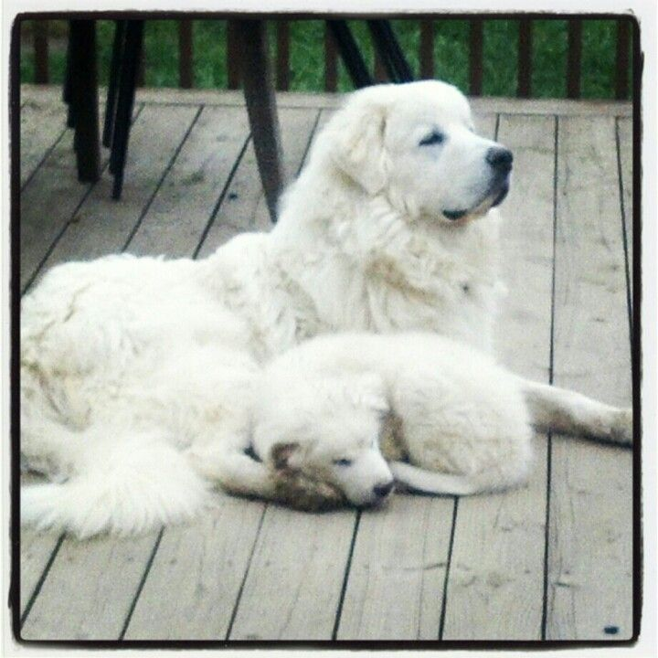 Great Pyrenees Bff S Great Pyrenees Dog Great Pyrenees Top
