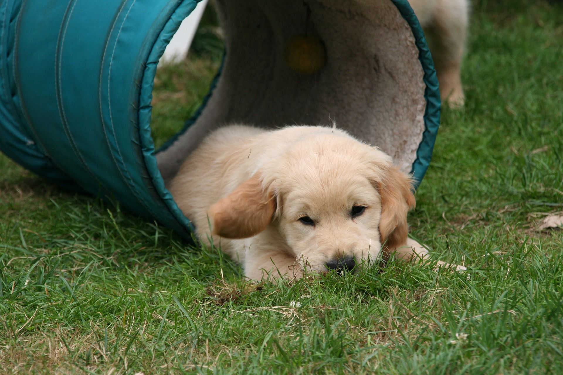 These Golden Retriever Puppies Are Ready To Make Your Day