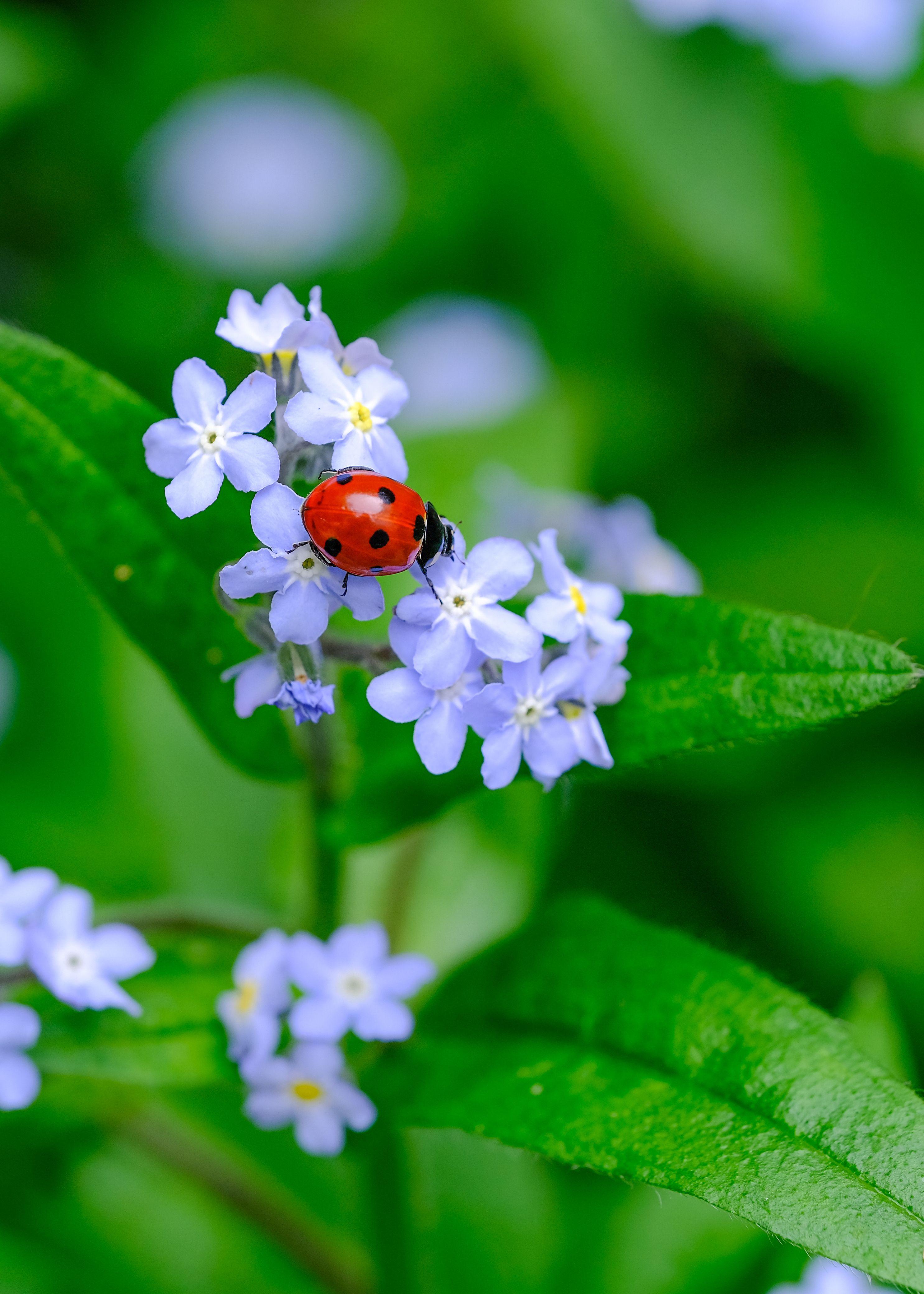 Ladybug on forget-me-not postcard