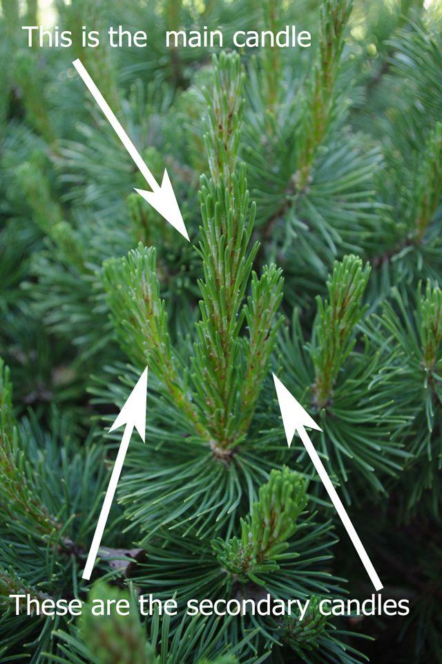 Pine Candles Explained How To Trim A Mugo Gardening