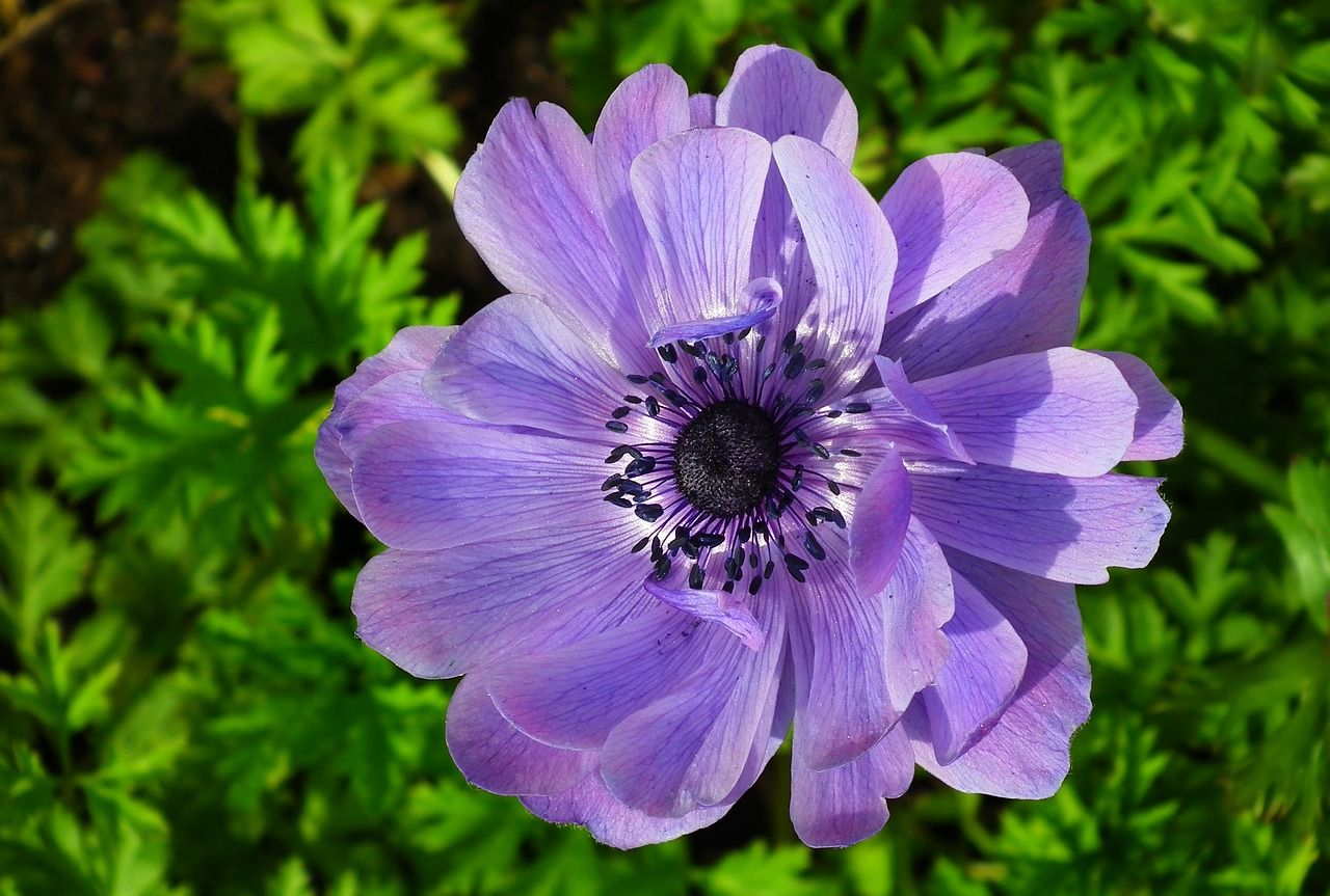 Free Image On Pixabay Flower Anemone Blue Plant Anemone Plants Annual Flowers