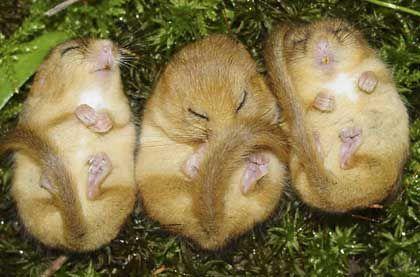 Drei Schlafende Haselmause Susseste Haustiere Susse Tiere Schlafende Tiere