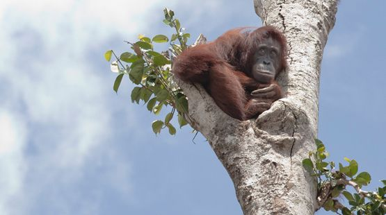 "Orangutans – victims of ""sustainable"" palm oil"