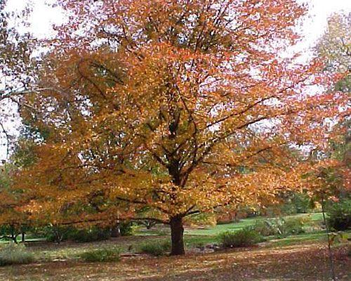 Black Gum Tree Plants Tupelo Tree Plant Finder