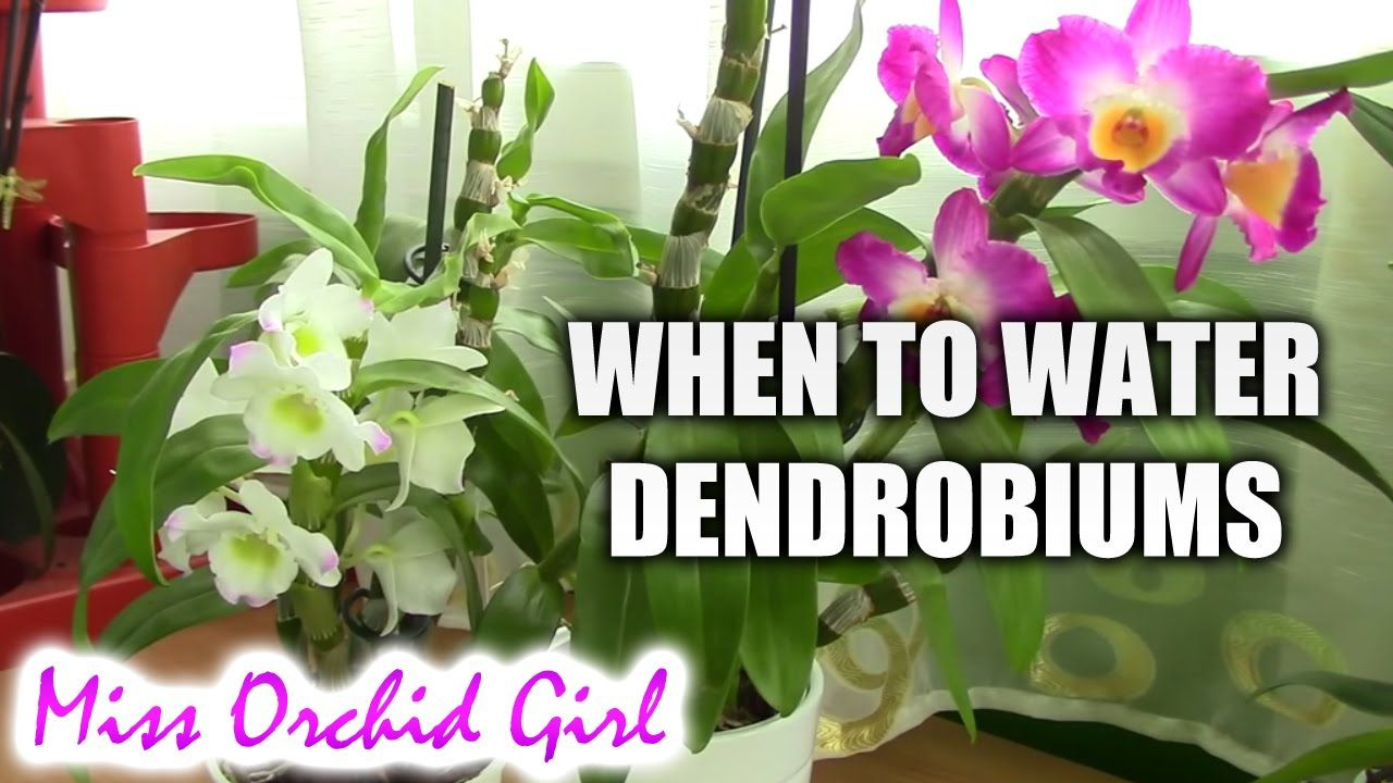 When To Water Dendrobium Orchids After The Winter Rest Dendrobium Orchids Dendrobium Nobile Orchid Plants