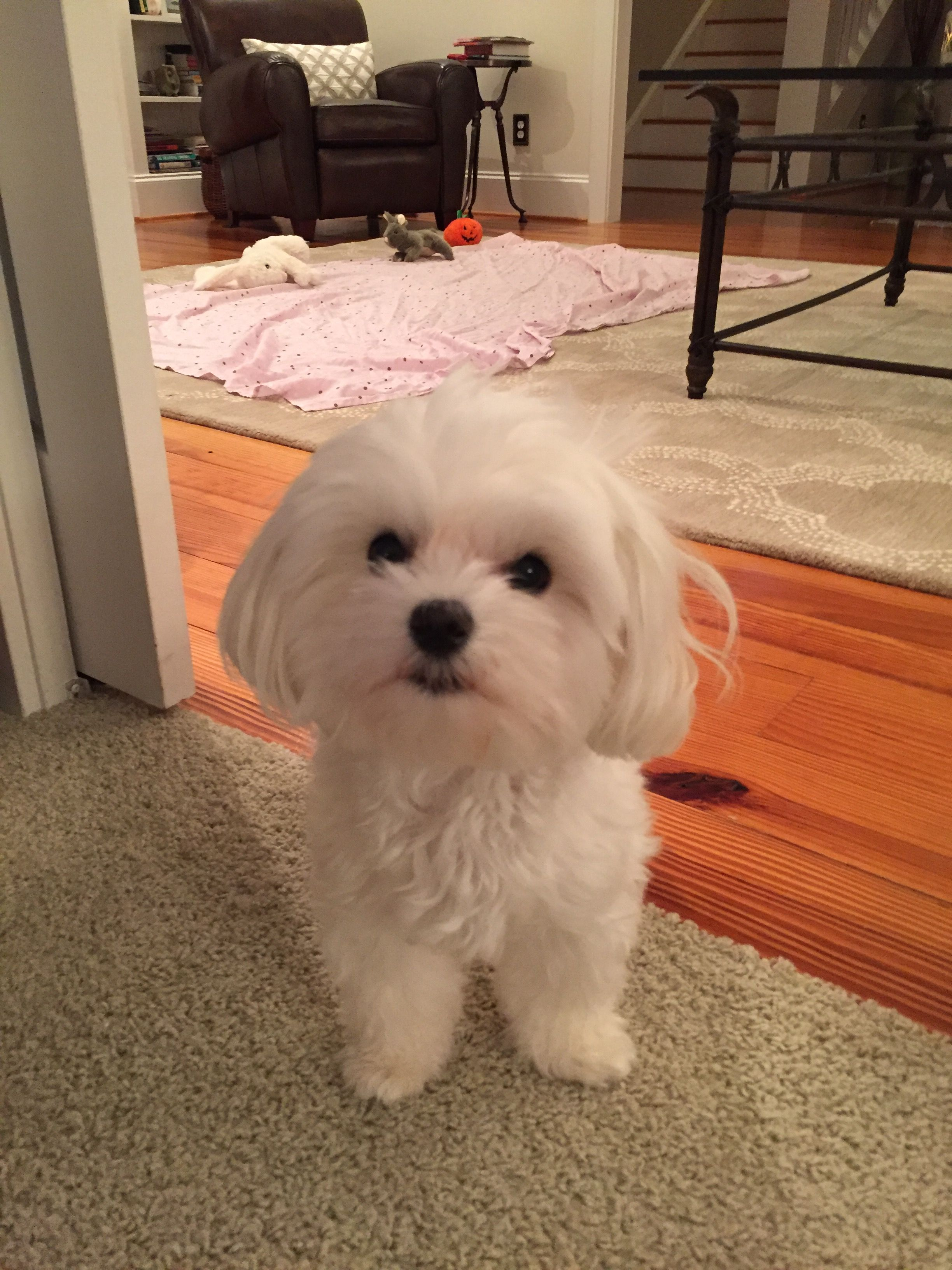 Pretty girl Maltese Pinterest