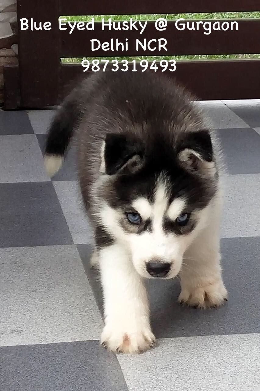 9873319493 Call For Queries Husky Puppy Husky With Blue Eyes